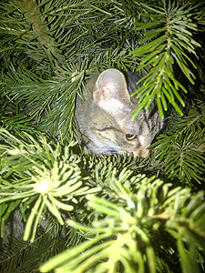 11-04-13-tigrette-et-la-d-couverte-du-sapin-de-no-l.jpg