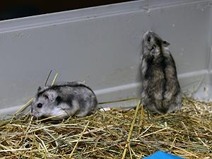 Hamsters 060118 1